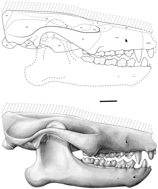 Ocepeia daouiensis, Selandian, Phosphate level IIa of Sidi Chennane, Ouled Abdoun Basin, Morocco O. daouiensis. Reconstruction of the skull.Lateral view. This reconstruction of the skull is based on the female specimen MNHN.F PM45. The specimen MNHN.F PM54, a male individual, is distinct from MNHN.F PM45 with a more robust skull morphology and presence of a stronger sagittal crest. The dashed line (hatched area) at skull roof corresponds to our estimated correction of the plastic dorso-ventral crushing of MNHN.F PM45 that could not be quantified precisely on this specimen, even with the CT scans (see comments in text, §Reconstruction); the correction is based on comparison with MNHN.F PM54. The lower jaw was reconstructed based on specimen MNHN.F PM41 [26]. Drawings: C. Letenneur (MNHN).