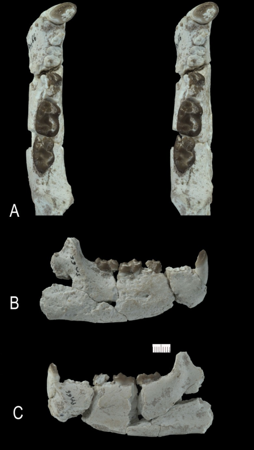 Ocepeia grandis n. sp., Thanetian (Phosphate level IIa), Sidi Chennane, Ouled Abdoun Basin, Morocco.PM66, right dentary with M2–3, alveoli for C1, P3–4, M1, in occlusal (stereophotograph, a), labial (b) and lingual (c) views (private collection; cast MNHN). Scale bar in millimeters. Scale bar:10 mm.