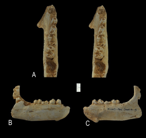 Ocepeia grandis n. sp., Thanetian (Phosphate level IIa), Sidi Chennane, Ouled Abdoun Basin, Morocco.MNHT.PAL.2006.09, right dentary with P3–4, M1–2, alveolus for C1 and mandibular symphysis, in occlusal (stereophotograph, a), labial (b) and lingual (c) views (coll. of the Museum of Toulouse). Scale bar:10 mm.
