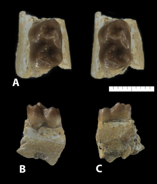 Ocepeia grandis n. sp., Thanetian (Phosphate level IIa), Sidi Chennane, Ouled Abdoun Basin, Morocco.MNHN.F PM34, fragment of left dentary with M1, in occlusal (stereophotograph, a), labial (b) and lingual (c) views. Scale bar:10 mm.