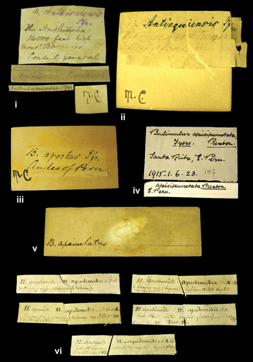 Labels. iBulimus anthisanensis Pfeiffer, 1853 iiBulimus antioquensis Pfeiffer, 1855 iiiBulimus apertus Pfeiffer in Dunker et al., 1855 ivBulimulus apicepunctata Preston, 1914 vBulimus apiculatus J.E. Gray, 1834 viHelix apodemeta d'Orbigny, 1835.