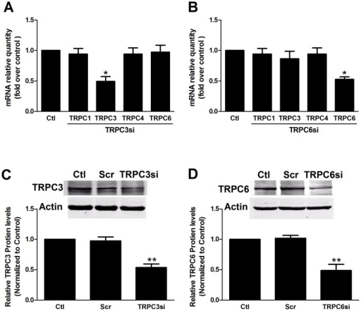 The specificity and efficiency of TRPC3 and TRPC6 knockdown.(A, B) Real-time PCR experiments showed that the TRPC3 siRNA (A) and TRPC6 siRNA (B) decreased the mRNA expression of TRPC3 and TRPC6, respectively (*p<0.05 vs. Ctl, n = 3), without affecting other TRPC channels (p>0.05, n = 3). (C, D) Western blot experiments showed that transfection with TRPC3 siRNA (C) and TRPC6 siRNA (D) reduced TRPC3 and TRPC6 protein expression (**p<0.01 vs. Scr, n = 3), respectively, without affecting other TRPC channels (p>0.05, n = 3) compared with transfection with scramble siRNA. Asterisks indicate the statistical significance (**p<0.01). Data are shown as the means ± SEMs.
