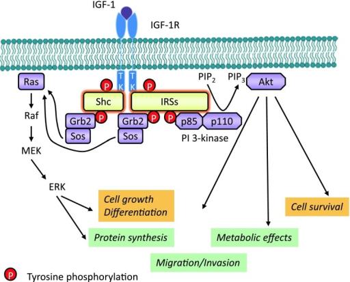 IGF-1R kinase-dependent signaling pathways. IGF-1 (or I ...