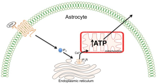 Neuroprotection can be enhanced by stimulating Calcium-dependent astrocyte mitochondrial metabolism. The binding of 2-methylthioadenosine diphosphate trisodium salt(2meSADP) to the purinergic receptor (P2Y1R) activates the Inositol triphosphate (IP3) cascade resulting in release of calcium (Ca2+) from endoplasmic stores. The result is increased adenosine triphosphate (ATP) production within the mitochondria which provides for increased cellular demands following injury.