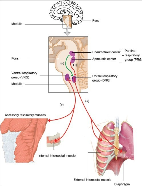 Schematic diagram of respiratory centers. (+): stimulate. (-): inhibit. (Source of the diagram: from Anatomy and Physiology, OpenStax College resource Unit 5 Chapter 22)
