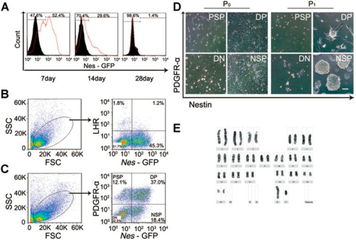 Isolation and phenotypic analysis of Nes-GFP+ cells derived from the testis. (A) Flow cytometry was used to isolate Nes-GFP+ cells from the testes of Nes-GFP transgenic mice on postnatal days 7, 14, and 28. The representative histogram overlays showed the isotype controls (black region) and the stained samples (red lines). n = 5. (B, C) Representative flow cytometric profiles of Nes-GFP+ cells stained with LHR (B) and PDGFR-α (C); these cells were derived from the testes of postnatal day 7 Nes-GFP transgenic mice. FSC, Forward-scattered light; SSC, Side-scattered light; PSP, PDGFR-α single positive; DP, Nes-GFP and PDGFR-α double positive; DN, double negative; NSP, Nes-GFP+ single positive. (D) Phase-contrast micrographs of primary (P0, 4 days after plating) and P1 (7 days after plating) cells in each population derived from the PSP, DP, DN, and NSP cells. Scale bar, 50 μm. (E) Cytogenetic analysis showed that the Nes-GFP+ cells at P25 have a diploid karyotype.