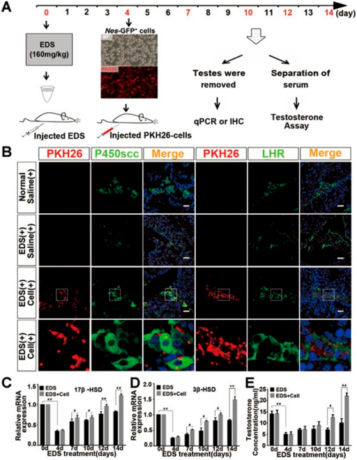Transplanted Nes-GFP+ cells differentiated into LCs that are capable of producing testosterone in the testes of EDS-treated 3-month-old mice. (A) Schematic of the experimental procedure used for cell transplantation. (B) Immunofluorescence staining showed the accumulation of cells positive for PKH26 (red) and P450scc (green) or LHR (green) in the interstitial area of the testis of EDS-treated mice 10 days after implantation with Nes-GFP+ cells. In the control mice, the number of P450scc- and LHR-positive cells decreased after EDS injection. The bottom panels showed higher-magnification images of the dotted boxes in the lower-magnification images of the Nes-GFP+ cell-transplanted mice. Scale bar, 50 μm. Normal/Saline (+), 3-month-old mice received saline injection; EDS(+)/Saline (+), EDS-treated mice receiving saline 4 days later; EDS(+)/Cells (+), EDS-treated mice receiving Nes-GFP+ cells 4 days later. (C-D) qRT-PCR analysis showed the expression of 17β-HSD (C) and 3β-HSD (D) in the testes of or EDS- or EDS+Nes-GFP+ cells-treated groups at the indicated experimental time points. Expression levels of each gene were compared to normal mice (before treatment; defined as 1). Data are shown as the mean ± SEM. n = 6. (E) The serum testosterone concentration was measured at the indicated time points in each animal. The level of testosterone was significantly increased in the Nes-GFP+ cell-treated group compared to the control mice (treated with EDS alone) after cell transplantation (*P < 0.05, **P < 0.01).