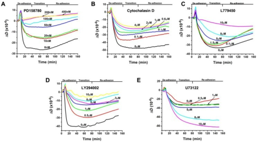 Real-time quartz crystal microbalance with dissipation monitoring (QCM-D) measurements (at the order of overtone n = 3) of the ΔD-responses of mutant MCF-10A cells to 10 nM epidermal growth factor (EGF) at 37 °C. The corresponding sequential EGF-induced de-adhesion processes were indicated. (A) The ΔD-responsesof the cells were suppressed by PD158780, a known inhibitor of EGFR tyrosine kinase, at various doses (0, 10, 20, 50, 100, 200, and 400 nM). (B) The ΔD-responsesof the cells were suppressed by cytochalasin D, a known inhibitor of actin polymerization, at various doses (0, 0.1, 0.3, 0.6, 1, 2, and 4 µM). (C) The ΔD-responsesof the cells were suppressed by L779450, a known inhibitor of Raf kinase in the mitogen-activated protein kinase/extracellular signal-regulated kinase (MAPK/ERK) pathway, at various doses (0, 0.1, 0.5, 5, 8, and 10 µM). (D) The ΔD-responsesof the cells were suppressed by LY294002, a known inhibitor of PI3K in the PI3K pathway, at various doses (0, 0.5, 1, 3, 5, 8, and 10 µM). (E) The ΔD-responsesof the cells were increased by U73122, a known inhibitor of phospholipase C (PLC)γ in the PLC pathway, at various doses (0, 0.5, 1, 5, 8, and 10 µM).