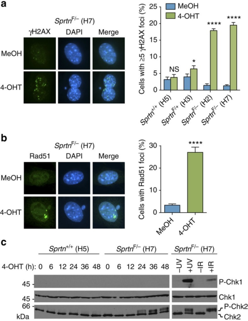 Sprtn KO causes DNA damage and checkpoint activation.(a) γH2AX focus formation. The indicated MEFs treated with MeOH or 4-OHT for 48 h were stained with anti-γH2AX. At least 300 cells were scored for γH2AX foci and percentages of cells with 5 or more foci are shown. Values are mean±s.d. of three independent experiments. NS, not significant; *P<0.05; ****P<0.0001 (two-tailed unpaired t-test). (b) Rad51 focus formation. The indicated MEFs were stained with anti-Rad51 after 48 h treatment with MeOH or 4-OHT. At least 300 cells were scored for Rad51 foci. Experiments were performed in triplicate and mean±s.d. is shown. ****P<0.0001 (two-tailed unpaired t-test). (c) Western blot analyses of phospho-Chk1 and Chk2. The indicated MEFs were treated with 4-OHT and harvested at various time points. SprtnF/− (H7) cells treated with ultraviolet (40 J m−2) or ionizing radiation (10 Gy) are shown as positive controls for checkpoint kinases activation. Chk1 is used as a loading control. P-Chk1, phospho-Chk1 (Ser345); P-Chk2, phospho-Chk2. Uncropped blots are shown in Supplementary Fig. 7.