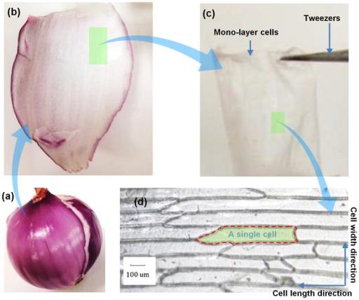 sample preparation process.(a) onion bulb. (b) bulb sca | open-i, Cephalic Vein