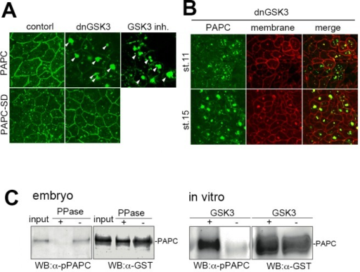 GSK3 is involved in the regulation of PAPC localization and stability.(A) Inhibiting GSK3 activity by expression of dominant-negative GSK3 (dnGSK3), or treating explants with a GSK3 inhibitor BIO one hour prior to observation, led to extensive aggregation of PAPC in the cytoplasm in animal cap cells (arrowheads). A putative phosphorylation-mimic mutant PAPC-SD, which carries S816 and S820 to aspartic acid mutations, was resistant to dnGSK3 expression and remained on the plasma membrane. (B) PAPC was not efficiently degraded in DMZ explants expressed with dominant-negative GSK3 (dnGSK3) at stage 15 and formed cytoplasmic aggregates. (C) GST-tagged PAPC was expressed in the dorsal marginal zone. When embryos reached the gastrula stage, PAPC-GST was partially purified with Glutathione Sepharose 4B. Phosphorylated PAPC (pPAPC) was detected by anti-phosopho-PAPC antibody, raised against phosphorylated DSR peptide as an antigen. The pPAPC signal was abolished by treating the extract with lambda protein phosphatase (PPase). The recombinant C-terminal domain of PAPC was phosphorylated in vitro in the presence of recombinant GSK3, as confirmed by a Western blot using anti-pPAPC antibody. Total input of PAPC was estimated by anti-GST antibody.