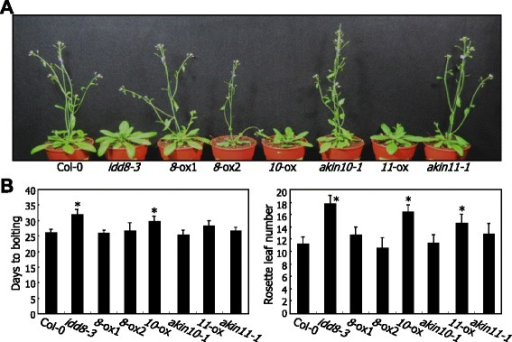AKIN10 overexpression delays flowering. Plants were grown in soil under LDs for 6 weeks before taking photographs (A). Flowering times were measured by counting the days to bolting and rosette leaf numbers at bolting (B, left and right panels, respectively). Transgenic plants overexpressing IDD8 (8-ox1 and 8-ox2), AKIN10 (10-ox), and AKIN11 (11-ox) and their gene knockout mutants were analyzed. The countings of approximately 20 plants were averaged and statistically analyzed using Student t-test (*P < 0.01, difference from col-0). Bars indicate standard error of the mean.