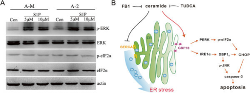 Ceramide triggers ER stress is independent of its downstream metabolite S1P. (A) ACC-M and ACC-2 cells were seeded into 60 mm culture dishes and the next day cells were treated with 5–10 μM S1P. The level of phosphorylated eIF2α and ERK was analyzed. Unphosphorylated eIF2α and ERK were measured and actin were used as loading control. The experiment was repeated several times and the representative result is shown. (B) Proposed mechanism of ceramide-mediated activation of ER stress response in ACCs. Ceramide induces SERCA inhibition and ER calcium depletion. This leads to increase GRP78 and activate PERK/eIF2α and IRE1α/XBP1 arm of ER stress. FB1 inhibits ceramide-induced ER stress. Prolonged ER stress eventually induces apoptosis through activates pro-apoptotic proteins CHOP and JNK.
