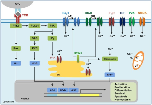 The calcium channels in T cells. T cell receptor (TCR) engagement by a peptide-MHC on an antigen presenting cell (APC) induces protein tyrosine kinases (PTKs) to activate phospholipase Cγ1 (PLCγ1), which cleaves phosphatidylinositol 4,5-bisphosphate (PIP2) from plasma membrane phospholipids to generate diacylglycerol (DAG) and inositol-1,4,5-trisphosphate (IP3). Elevated levels of IP3 in the cytosol lead to the release of Ca2+ from IP3Rs located in the endoplasmic reticulum (ER). Ca2+ depletion from the ER induces Ca2+ influx from the extracellular space through the plasma membrane channel, ORAI1. Several additional channels also operate during TCR-mediated Ca2+ signaling. These include plasma membrane IP3R activated by the ligand IP3, transient receptor potential (TRP) channels that can be operated by DAG and SOCE, adenosine triphosphate (ATP)-responsive purinergic P2 (P2X) receptors, glutamate-mediated N-methyl-d-aspartate activated (NMDA) receptors, and voltage-dependent Ca2+ channels (CaV) that may be regulated through TCR signaling events. The mitochondria (MT) also control cytoplasmic Ca2+ levels. Increase in intracellular Ca2+ results in activation of calmodulin–calcineurin pathway that induces NFAT nuclear translocation and transcription of target genes to direct T cell homeostasis, activation, proliferation, differentiation, apoptosis and survival. Within this complex network of Ca2+ signaling, a model of the reciprocal regulation of CaV1 and ORAI1 in T cells has been proposed. (A) Low-level TCR signaling through interactions with self-antigens (i.e., self-peptides/self-MHC molecules) may result in CaV1 (particularly CaV1.4) activation and Ca2+ influx from outside the cell. This allows for filling of intracellular Ca2+ stores and initiation of a signaling cascade to activate a pro-survival program within the naïve T cell. STIM1 is not activated in this scenario and, consequently, ORAI1 remains closed. (B) Strong TCR signaling through engagement by a foreign peptide-MHC induces the downstream signaling events that result in ER Ca2+ store depletion and STIM1 accumulation in puncta in regions of the ER near the plasma membrane allowing interactions with Ca2+ channels. ORAI1 enhances STIM1 recruitment to the vicinity of CaV1 channels. Here, STIM1 can activate ORAI1 while inhibiting CaV1.