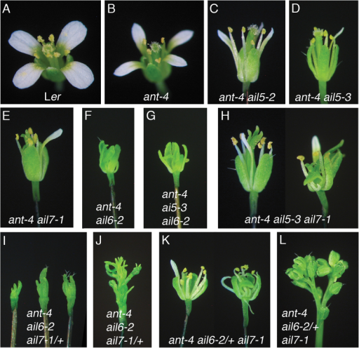 AIL5 and AIL7 have partially overlapping functions with ANT in flower development. (A) Ler flower. (B) ant-4 flower. (C) ant-4 ail5-2 flower. (D) ant-4 ail5-3 flower. (E) ant-4 ail7-1 flower. (F) ant-4 ail6-2 flower. (G) ant-4 ail5-3 ail6-2 flower. (H) Early-arising (left) and later-arising (right) ant-4 ail5-3 ail7-1 flowers. (I) ant-4 ail6-2 ail7-1/+ flowers. (J) ant-4 ail6-2 ail7-1/+ inflorescence. (K) Early-arising (left) and later-arising (right) ant-4 ail6-2/+ ail7-1 flowers. (L) ant-4 ail6-2/+ ail7-1 inflorescence.