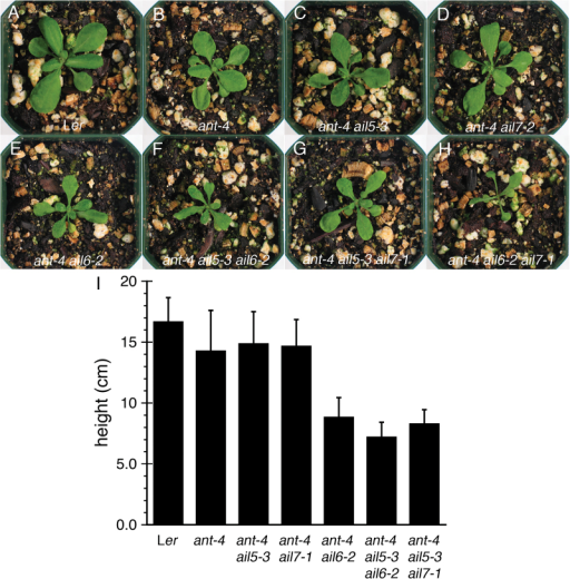 AIL5 and AIL7 contribute to leaf development and shoot growth. (A). Ler plant. (B) ant-4 plant. (C) ant-4 ail5-3 plant. (D) ant-4 ail7-1 plant. (E) ant-4 ail6-2 plant. (F) ant-4 ail5-3 ail6-2 plant. (G) ant-4 ail5-3 ail7-1 plant. (H) ant-4 ail6-2 ail7-1 plant. All plants in (A–H) were 20-d-old. (I) Graph of plant heights. All plants were 42-d-old.