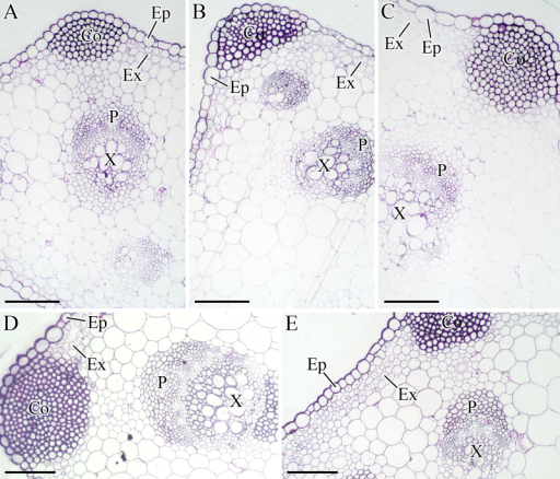Structural changes in the petioles during carrot growth and development. The petioles were harvested at 25 (A), 42 (B), 60 (C), 75 (D), and 90 (E) days after sowing. Collenchyma (Co), epidermis (Ep), exodermis (Ex), phloem (P), and xylem (X) were marked in the figure. Scale bars in A, B, C, D, and E are 100 μm in length.