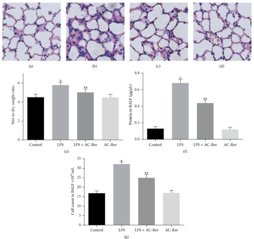 Protecting effects of AC-Rsv on the LPS exposure induced lung injuries. (a–d) Morphological changes were evaluated 12 h after LPS exposure by H&E staining. LPS stimulation group (b) showed increasing lung edema, alveolar hemorrhage, neutrophil infiltration, and destroyed epithelial/endothelial cell structures compared with those of control (a), while significant improvement was observed in samples from the LPS + AC-Rsv group (c). AC-Rsv treatment alone barely affected the structure of lungs (d). (e) Wet-to-dry ratios of lung samples; data are expressed as mean ± S.D. n = 8. LPS injection significantly increased the W/D ratios of lung samples compared with that of control, ∗P < 0.05 versus control, while pretreatment of AC-Rsv dramatically decreased the W/D ratios of lung samples stimulated by LPS, ∗∗P < 0.05 versus ∗P. ((f) and (g)) Protein concentration (a) and cell count (b) in BALF. Data are expressed as mean ± S.D. n = 8. LPS exposure significantly increased cell and protein content in BALF compared with those of control, ∗P < 0.05 versus control; and pretreatment of AC-Rsv decreased the cell and protein content in BALF from lung stimulated by LPS, ∗∗P < 0.05 versus ∗P.