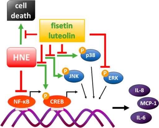 Summary of the effects of fisetin and luteolin on serum-starved and HNE-treated ARPE-19 cells.Addition of HNE to serum-starved cells was strongly cytotoxic, and caused decreased release of pro-inflammatory cytokines IL-6 and IL-8 probably trough the inhibition of NF-κB signaling, as discussed previously. Fisetin and luteolin protected the cells from HNE-induced cytotoxicity and induced a strong additional reduction in the IL-6, IL-8, and MCP-1 levels even when added after the HNE exposure. Analysis of signaling protein amounts and phosphorylation levels together with inhibition studies suggest that fisetin and luteolin suppress the release of pro-inflammatory cytokines by decreasing the activation of CREB, JNK, and ERK1/2.