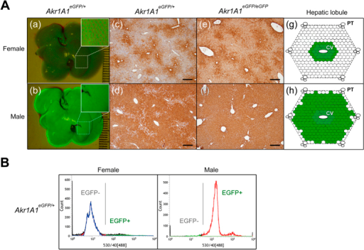 The male-biased EGFP expression in the liver of the pCAG-eGFP Tg mouse line.(A) The in vivo EGFP fluorescence (Akr1A1eGFP/+) (a, b) and IHC of EGFP expression (Akr1A1eGFP/eGFP and Akr1A1eGFP/+) (c–f) in livers of the male and female Tg mice, and the schematic diagram of EGFP expression in the hepatic lobule (g, h). Scale bar: 400 μm; CV: central vein; PT: portal triad. (B) The cell counts of the EGFP+ and EGFP− hepatocytes, which were isolated from male and female Akr1A1eGFP/+ mice, were analyzed by flow cytometry. Similar results were shown in five animals of each group (n = 5).