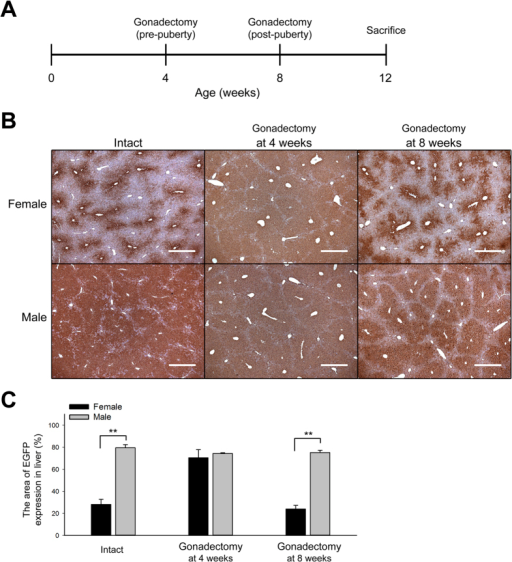 Sex hormones are crucial for the formation of the sexually dimorphic EGFP expression in the Akr1A1eGFP/+ mouse liver during puberty.(A) The experimental schedule of Tg mice that underwent gonadectomy at 4 or 8 weeks of age and were sacrificed at 12 weeks of age for IHC analysis. (B) IHC of EGFP expression in the livers of intact Tg mice and mice that had undergone gonadectomy at 4 or 8 weeks of age. Scale bar: 500 μm. (C) The quantification of the EGFP expression area in IHC sections ([EGFP area (brown color)/total area] × 100%). The bars show the mean ± s.e.m. of five animals per group (n = 5); data were analyzed by one-tailed Student's t-test; **P < 0.01 vs. the female group with the same treatment.