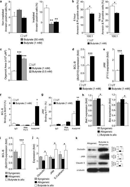 Butyrate treatment enhances IEC barrier(a) CD326+ purified intestinal epithelial cells (IECs) cultured in the presence or absence of butyrate and withheld (left panel) or subjected to (right panel) irradiation (6 Gy). (b) Allogeneic CD8+ T cell killing assay. CD326+ IECs incubated with or without butyrate overnight followed by co-culture with allo-primed CD8+ T cells. (c) Size (µm2) of cultured primary intestinal organoids following butyrate treatment (0.5 mM and 1 mM), compared to control. Gene expression of (d) anti-apoptotic protein BCL-B (Bcl2l10) and (e) junctional protein JAM (F11r) in primary CD326+ IECs in the presence of butyrate 1mM. (f)-(g) Chromatin immunoprecipitation assay (ChIP) of butyrate treated IECs (CD326+) binding acetylated histone H4 in the promoter region of (f) Bcl2l10 and (g) F11r. (h)-(i) Analysis of IECs (CD326+) isolated from recipients of syngeneic (BALB/c → BALB/c) and allogeneic (C57BL/6J → BALB/c) BMT treated with butyrate or vehicle daily via intragastric gavage for 21 days. (h) Gene expression of pro-apoptotic proteins Bak1 (left) and Bax (right), (i) anti-apoptotic protein BCL-B (Bcl2l10), and (j) junctional proteins in CD326+ purified IECs isolated 21 days following BMT. (k) Immunoblot of CD326+ purified intestinal epithelial cells from allogeneic (C57BL/6J → BALB/c) BMT recipients treated daily with intragastric vehicle or butyrate (10mg/kg) for occludin, JAM, and claudin 5; isolated 21 days following BMT. Densitometric analysis of two experiments combined shown to the right of each blot, compared to α-tubulin loading control; representative immunoblots shown. Syngeneic n=5, n = 10 mice per allogeneic group. *P < .05; **P < .01; ***P < .0001 of students t-test a – g, k; ANOVA h – j. Bars and error bars represent the means and standard errors of the mean, respectively.