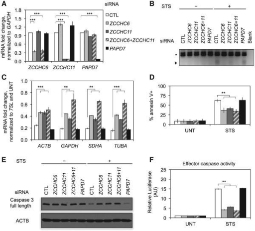 ZCCHC6/ZCCHC11 Knockdown Inhibits Cell Death and mRNA Decay(A) HeLa cells were transfected with control (CTL), ZCCHC6, and/or ZCCHC11 or PAPD7 siRNAs and harvested 72 hr later. RNA was then analyzed by qRT-PCR to assess knockdown.(B) Accumulation of uridylated decay intermediates was assessed by RT-PCR with an A12-adaptor primer (as in Figure 5F). Uridylated intermediates that arose after STS treatment were reduced after knockdown of ZCCHC6 and/or ZCCHC11. The arrowhead denotes new products and the asterisk denotes products primed from oligouridylate tracts in the ACTB 3′ UTR. Results are representative of three independent experiments.(C–F) After knockdown and STS treatment, mRNA levels were assayed by qRT-PCR (C). Cells were analyzed for cell death by annexin V staining and flow cytometry (D). Caspase activation was assessed by immunoblot for caspase 3 (E) and a luminescent caspase activity assay (F). ZCCHC6 and/or ZCCHC11 knockdown partially restored mRNA levels, rescued cell death, and reduced caspase 3 cleavage and activation. Error bars represent the SEM of at least three independent experiments.**p < 0.01; ***p < 0.001, relative to CTL knockdown.