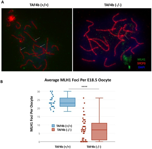 Reduced MLH1 meiotic recombination foci on pachytene chromosomes in Taf4b-deficient oocytes.(A) Oocyte meiotic chromosome spreads were prepared from E18.5 wild-type and Taf4b-deficient ovaries, and stained with primary antibodies against SYCP3 and MLH1. While wild-type oocytes have one or two intensely-stained MLH1 foci per homologous pair (white solid arrows), few of these foci are evident in Taf4b-deficient oocytes. Instead, the majority of MLH1 foci visible in Taf4b-deficient oocytes are comparatively faint (white dashed arrows) (B) Quantification of average MLH1 foci per oocyte. Taf4b-deficient oocytes possess significantly fewer total MLH1 foci than wild-type oocytes. *: n = 3 animals with 25 or more pachytene oocytes each, one-tailed t-test, p<0.0001