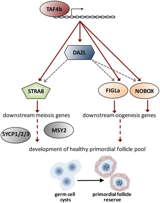 Model of TAF4b promoting a critical meiosis and oogenesis gene regulatory network: Data from chromatin immunoprecipitation experiments demonstrates that TAF4b occupies the proximal promoters of Dazl, Stra8, Figlα, and Nobox, ultimately resulting in their expression.Proper expression of these essential regulators facilitates expression of downstream meiosis and oogenesis genes, finally leading to the development of a healthy primordial follicle pool. Red arrows represent direct transcriptional regulation, gray arrows represent post-transcriptional regulation, and dashed lines indicate putative mechanisms.