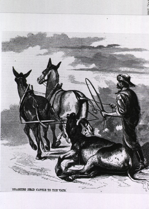 <p>Dragging dead cattle to the vats, during the cattle plague.</p>