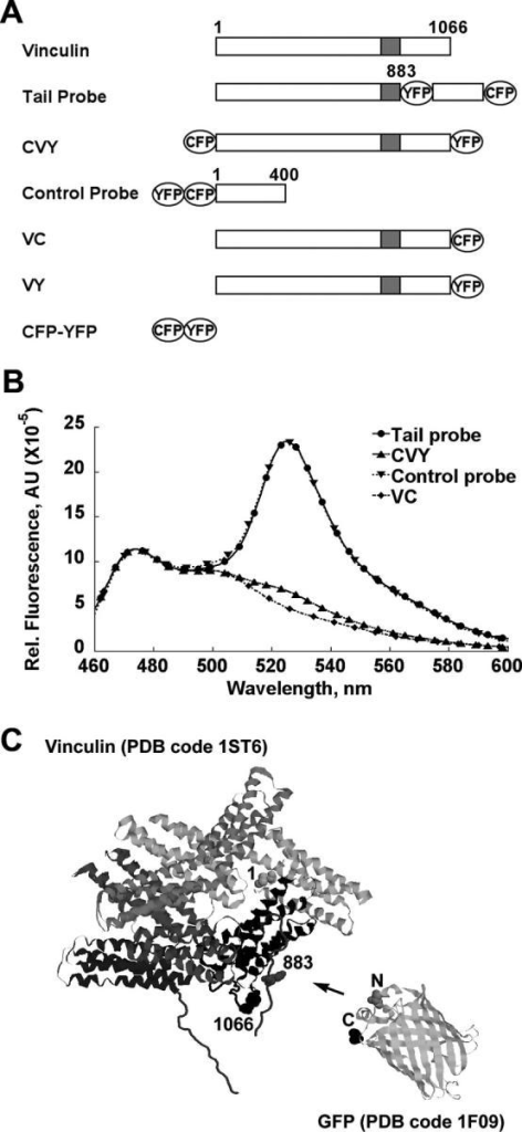 Structure and spectral properties of the FRET probes. (A) Schematic structure of vinculin FRET probes. (B) The emission spectra of vinculin1-883-EYFP-vinculin884-1066-ECFP (Tail Probe), ECFP-vinculin-EYFP (CVY), EYFP-ECFP-vinculin1-400 (control probe), and vinculin-ECFP (VC). Numbers refer to amino acid residues in chicken vinculin (Coutu and Craig, 1988). Spectra were normalized to the emission of VC at 475 nm. (C) The structures of vinculin and GFP showing the size of each molecule. The arrow marks the site of YFP insertion between residues 883 and 884.