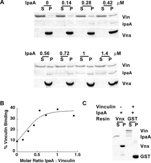 Vinculin binding to SH3 domains of vinexin β is conformationally regulated. (A) Vinculin, at a 1-μM concentration, was incubated in 20 mM Pipes, pH 6.9, 100 mM KCl, and 0.1% Triton X-100 with GST-vinexin (residues 42–115, encoding the first two SH3 domains of vinexin) immobilized on glutathione-agarose beads in the presence of varying amounts of IpaA. After an overnight incubation at 4°C, supernatant (S) and pellet (P) were fractionated by centrifugation for 2 min at 10,000 g. The resin was washed twice with binding buffer before elution in Laemmli sample buffer. Equal loading of pellets and supernatants represent 10% of total reaction. Samples were analyzed by SDS-PAGE and Coomassie staining. (B) Densitometry-based quantification of vinculin–vinexin interaction based on digitized Coomassie blue–stained gel analyzed in NIH Image. (C) Coomassie-stained gel of negative controls for binding experiment shown in A. IpaA was incubated with GST-vinexin in the absence of vinculin, demonstrating that no direct interaction occurs. Furthermore, the vinculin–IpaA complex does not co-sediment with GST alone, demonstrating the specificity of the ternary complex with vinexin.