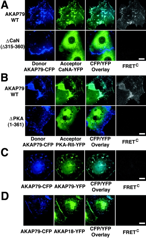 CFP/YFP micro-FRET microscopy imaging of AKAP79 binding to CaN and PKA in living cells. (A) Plasma membrane/cortical colocalization (CFP/YFP Overlay) and direct binding (FRETC) seen for CaNA–YFP (green) and AKAP79–CFP WT but not ΔCaN (Δ315–360) (blue) in live COS7 cells. (B) Plasma membrane/cortical colocalization (CFP/YFP Overlay) and direct binding (FRETC) seen for PKA-RIIα–YFP (green) and AKAP79–CFP WT but not ΔPKA (1–361) (blue) in live COS7 cells. (C) Negative control showing no FRETC for AKAP79–CFP (blue) and AKAP79–YFP (green) that colocalize at the plasma membrane (CFP/YFP Overlay) but do not bind to each other. (D) Negative control showing no FRETC for AKAP79–CFP (blue) and AKAP18(1–16)–YFP (green) that colocalize (CFP/YFP Overlay) but do not bind to each other. Bars, ∼15 μm.