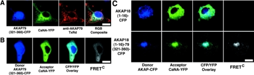 Direct observation of CaN binding to AKAP79 residues (321–360) in living cells using CYFRET microscopy. (A) Displacement of CaNA–YFP (green) from plasma membrane–targeted AKAP79 (anti-AKAP79, TxRd, red) by an untargeted AKAP79 CaN binding site peptide, AKAP79(321–360)–CFP (blue), seen in the RGB composite as red in membrane ruffles and CFP-blue/YFP-green overlap in the cytoplasm. (B) Colocalization (CFP/YFP Overlay) and direct binding (FRETC) seen for CaNA–YFP (green) and AKAP79(321–360)–CFP (blue) in the cytoplasm of COS7 cells. (C) The AKAP79(321–360) CaN binding site confers CaNA binding activity on AKAP18 in living cells. Plasma membrane and Golgi targeting (CFP/YFP overlay) and direct binding (FRETC) of CaNA–YFP (green) to AKAP18(1–16)–AKAP79(321–360)–CFP (blue, bottom) but not AKAP18(1–16)–CFP (blue, top) in live COS7 cells. Bars, ∼20 μm.