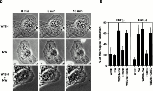 WISH enhances N-WASP–induced microspike formation in vivo. (A) Microspike formation in Cos7 cells expressing N-WASP or Myc-WISH. Transfected cells were treated with or without EGF for 5 min, and then fixed, immunostained with anti–N-WASP (N-WASP) or anti-Myc (WISH) antibodies, and stained with rhodamine-phalloidin (actin filaments). (B) Microspike formation in Cos7 cells expressing N-WASP and Myc-WISH. Transfected cells were treated with or without EGF for 5 min, and then fixed, immunostained with anti–N-WASP (N-WASP) and anti-Myc (WISH) antibodies, and stained with rhodamine-phalloidin (actin filaments). (C) Activation of N-WASP by WISH is independent of Cdc42. Cos7 cells expressing the N-WASP mutant H208D only or together with Myc-WISH were observed for microspike formation. Cells were incubated with or without EGF for 5 min, and then fixed, immunostained with anti–N-WASP (H208D) and anti-Myc (WISH) antibodies, and stained with rhodamine-phalloidin (actin filaments). (D) Real-time observation of microspike formation. Cos7 cells were microinjected with purified N-WASP and/or GST-WISH proteins. After microinjection, cells were observed with a phase–contrast microscope. Membrane protrusions (filopodia) are indicated with arrows. (E) Quantification of microspike formation. Transfected cells were serum-starved and then stimulated with or without EGF for 5 min. The percentage of cells forming microspikes among transfected cells was calculated. Error bars represent the SD of three different measurements. At least 50 cells were counted in each determination.