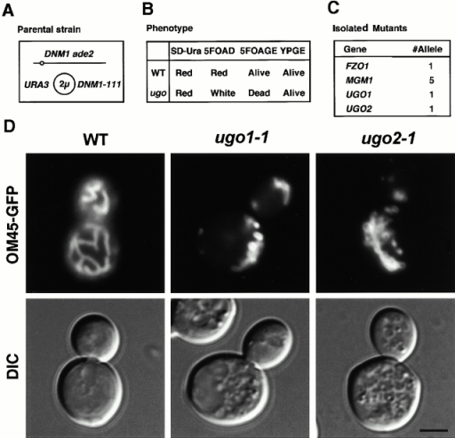 Isolation of ugo mutants. (A) Strain used to isolate ugo1 and ugo2. ade2 DNM1 strains that carry plasmid pHS50, which expresses the dominant negative Dnm1-111 protein, lack Dnm1p activity. Cells that lose pHS50 contain functional Dnm1p. (B) Mutant isolation scheme. The parental strain (WT) maintains mtDNA on glucose-containing medium in the presence (SD-Ura) or absence (5FOAD) of the URA3-DNM1-111 plasmid and form red colonies due to the ade2 mutation (Reaume and Tatum 1949). ugo mutants maintain mtDNA only in the presence of the pHS50, forming red colonies on SD-Ura, but become white on 5FOAD medium, which selects for loss of the URA3-DNM1-111 plasmid (Boeke et al. 1984). Growth on glycerol and ethanol medium confirms that ugo mutants contain mtDNA in the presence of the URA3-DNM1-111 plasmid (YPGE), but that ugo mutants are inviable on 5FOA medium containing glycerol and ethanol (5FOAGE). (C) Four different genes were identified in the ugo screen. Complementation tests showed one fzo1 mutant, five mgm1 mutants, and two new mutants, ugo1 and ugo2, were isolated. (D) ugo mutants contain highly fragmented mitochondria. Wild-type (W303), ugo1-1 (YHS64), and ugo2-1 (YHS65) were grown on 5FOAD medium to select for cells that lost the URA3-DNM1-111 plasmid, pHS50, and then transformed with pKC2, which expresses GFP fused to the COOH terminus of the mitochondrial outer membrane protein, OM45p (OM45-GFP; Cerveny et al. 2001). Cells were grown to log phase in SRaf medium and examined by fluorescence microscopy. Fluorescence (OM45-GFP) and DIC images are shown. Bar, 3 μm.