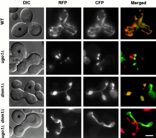 Mitochondrial fusion is defective in ugo1Δ and ugo1Δ dnm1Δ cells. MATa cells containing matrix-targeted RFP under the control of the GAL1 promoter (pHS51) were grown to log phase in SRaf medium and then transferred to SGalSuc medium for 3–5 h to induce the expression of the COX4-RFP fusion protein. MATα cells containing matrix-targeted CFP under the control of the GAL1 promoter (pHS52) were grown to log phase in SGalSuc medium overnight to induce COX-CFP. MATa and α cells were mated for 3.5 h on YEPD medium. The distribution of COX4-RFP and COX4-CFP in representative zygotes containing a medial bud (asterisks) is shown. Zygotes formed by mating between wild-type cells (FY833 and FY834, WT), ugo1Δ mutants (YHS72 and YHS73), dnm1Δ mutants (YHS83 and YHS84), and ugo1Δ dnm1Δ mutants (YHS85 and YHS86) were examined. Bar, 3 μm.
