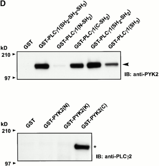 M-CSF–dependent association of PLC-γ2 and PYK2 in osteoclasts. Src+/? pOCs were cultured on Vn-coated dishes for 60 min in the absence of serum. (A) Total cell lysates were immunoprecipitated (IP) with anti–PLC-γ2 (lane 1) and anti–PLC-γ1 (lane 2), followed by blotting with anti-PYK2 (left), anti–PLC-γ2 (middle), or anti–PLC-γ1 (right) antibodies. (B) Lysates were immunoprecipitated with anti-PYK2 mAb 11 (lane 1) and anti-PYK2 N-19 antibodies (lane 2), followed by blotting with anti–PLC-γ2 (left) or anti-PYK2 (right). (C) Src+/? pOCs were cultured on PL or Vn for 60 min with or without 1 μM U73122. Lysates were immunoprecipitated with anti–PLC-γ2 and blotted with anti-PYK2 (left), and anti–PLC-γ2 (right) antibodies. (D) Lysates of Src+/? OCLs were incubated with GST fusion proteins containing NH2- and COOH-terminal SH2 domains or SH3 domains of PLC-γ1 and blotted with anti-PYK2 antibodies (top) or incubated with GST fusion proteins of NH2- or COOH-terminal domains or kinase (K) domain of PYK2 and blotted with anti–PLC-γ2 antibodies (bottom). (E) Src−/− pOCs (1.5 × 106 cells per condition) were plated on Vn and treated without and with M-CSF. Adhesion of Src+/? pOCs on Vn was used as control. Lysates were immunoprecipitated with anti–PLC-γ2 and blotted with anti-PYK2, followed by anti–PLC-γ2 antibodies (left) or immunoprecipitated with anti-N terminal PYK2 and blotted with anti–PLC-γ2, followed by anti-PYK2 antibodies (right). Molecular weight markers (in kD) are as indicated on the left. Positions of PYK2 (arrowhead) and of PLC-γ (asterisk) are as indicated.