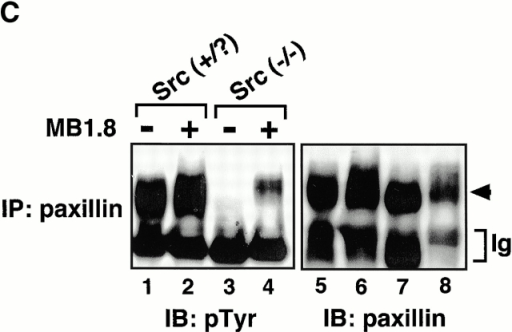 Adhesion-induced tyrosine phosphorylation of PYK2, Cas, paxillin, and PLC-γ in Src+/? and Src−/− prefusion osteoclast-like cells. (A) Src+/? pOCs were kept in suspension for 60 min or plated on Vn-coated dishes for the indicated periods in the absence of serum. Total cell lysates were immunoprecipitated (IP) with anti-PYK2, anti-Cas, anti–paxillin, anti–PLC-γ1 and 2, and anti-Src antibodies, followed by immunoblotting with anti–phosphotyrosine (pTyr) antibody (left). The same membranes were reblotted with anti-PYK2, anti-Cas, anti–paxillin, anti–PLC-γ1 and 2, and anti-Src antibodies (right). (B) Src+/? or Src−/− pOCs were kept in cell suspension or plated on Vn for 60 min. Total cell lysates were subjected to immunoprecipitation as described above. S, suspension; A, attached. (C) Src+/? or Src−/− pOCs (1.0 × 106 cells) were either plated on Vn-coated dishes for 60 min (lanes 1 and 3) or re-cultured with equal number of vitamin D3-treated MB1.8 cells on tissue culture dishes to generate OCLs (lanes 2 and 4). After 12 h, OCLs were purified as described in Materials and Methods. Cell lysates were immunoprecipitated with anti-paxillin, followed by blotting with p-Tyr and anti-paxillin. Arrowhead shows the position of paxillin.