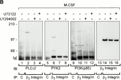 M-CSF–induced association of αvβ3 integrin with signaling molecules in Src−/− prefusion osteoclast-like cells. (A) Cell adhesion and M-CSF induce the association of β3 integrins with signaling molecules in pOCs. Src+/? and Src−/− pOCs (1.5 × 106 cells per condition) were plated on PL- or Vn-coated dishes. After culture for 60 min, Src−/− cells were treated with or without 5 nM M-CSF for 5 min. Total cell lysates were immunoprecipitated (IP) with anti–β3 integrin antibodies, followed by immunoblotting (IB) with anti–PLC-γ2 (lanes 1–4), anti-PYK2 (lanes 5–8), anti–PI 3-kinase (lanes 9–12), anti–c-Src (lanes 13–16), and anti–β3 integrin (lanes 17–20). The molecular masses of marker proteins (in kD) are on the left. Positions of c-Src (arrowhead) and of p85 subunit of PI 3-kinase (asterisk) are as indicated. (B) PLC and PI 3-kinase inhibitors block M-CSF–induced association of αvβ3 integrin with signaling molecules in Src-deficient pOCs. Src−/− pOCs (1.5 × 106 cells per condition) were plated on Vn as described above, followed by incubation with either U73122 (1 μM) or LY294002 (50 μM) for 40 min, then with 5 nM M-CSF. Lysates were immunoprecipitated with hamster anti–murine β3 integrin antibodies (lanes 2–4, 6–8, 10–12, and 14–16) or control hamster IgG (lanes 1, 5, 9, and 13), followed by blotting with anti–PLC-γ2 (lanes 1–4), anti-PYK2 (lanes 5–8), anti–PI 3-kinase (lanes 9–12), or anti–β3 integrin (lanes 13–16). p85 subunit of PI 3-kinase (small arrowheads). C, control hamster IgGs.