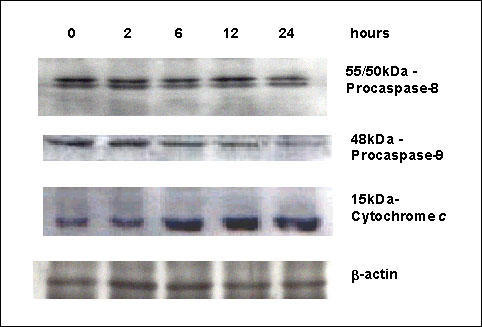 Western Blot analysis of apoptotic proteins in SPD-treated cells. Proteins from MCF-7 cells treated with 10-6 M SPD for the indicated times were resolved on 12% SDS-PAGE and submitted to Western Blotting with an anti-procaspase-8 antibody. Two bands were observed, corresponding to the uncleaved 55/50-kDa procaspase-8 isoforms. The active p18 subunit was not detected. Samples were also detected for procaspase-9 with an anti-procaspase-9 antibody (Clone B40). The anti-caspase-9 antibodies recognized the proenzyme; and the decrease of this band indicated activation of caspase-9. When proteins from cytosolic fractions of MCF-7 cells treated with 10-6 M SPD were resolved on 15% SDS-PAGE and submitted to immunoblotting with the cytochrome c antibody (Clone 7H8.2C12), increasing amounts of cytochrome c were detected in the cytosol in a time-dependent manner. All blots were then washed and reprobed with β-actin to confirm equal loading.