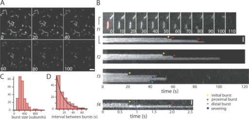 Actin filaments disassemble in bursts in cofilin, coronin, and Aip1. (A) Time-lapse wide-field epifluorescence images of fluorescently labeled actin filaments in the presence of 2 μM cofilin, 1 μM coronin, 200 nM Aip1, 5 μM of actin monomer, and 2 mM ATP. Filaments shorten and disappear from the field of view. Bar, 3 μm. (B) Successive time-lapse images showing a single actin filament (f1) over time, along with kymographs drawn along the contours of representative filaments (f1–f4). The red lines on the image of f1 at t = 0 denote the contour on which the kymograph was drawn. Time is given on the x axis of the kymograph, whereas the position along the filament contour is given on the y axis. Mean integration time for a single image was 400 ms for f1–f3 and 16 ms for f4. Triangles denote endwise bursting (f1–f3); yellow triangles denote initial burst (f1–f3), red triangles denote successive proximal bursts (f1 and f2), and green triangle denotes a successive distal burst (f3). Same-side bursts occurred more frequently (78%) than opposite-side bursts (22%; P < 0.001, one-tailed z test). The square denotes internal disassembly event counted as a severing event (f3). Bar, 1 μm. (C) Histogram of filament burst size. The mean burst size was 260 subunits. (D) Histogram of waiting times between successive bursts (red), fit to a single exponential (black). Single exponential fit gave characteristic decay time of τ = 14 s.