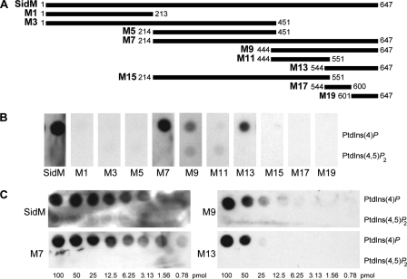 Identification of the PtdIns(4)P-binding domain of SidM. A, SidM fragments fused to GST were affinity-purified and used in protein-lipid overlay assay to test binding to 100 pmol (B) or serial 2-fold dilutions of PtdIns(4)P and PtdIns(4,5)P2 spotted onto nitrocellulose membranes (C).