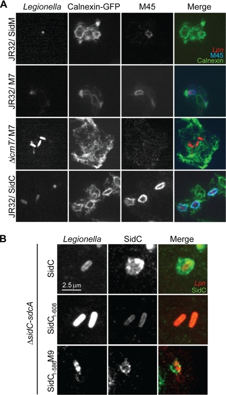 C-terminal fragments of SidM localize to LCVs. A, confocal laser scanning micrographs of calnexin-GFP-labeled D. discoideum Ax3 (green), infected at an m.o.i. of 50 for 1 h with L. pneumophila labeled with a serogroup 1-specific antibody (red) and immunostained for M45-SidM, M45-M7, and M45-SidC with an anti-M45 antibody (blue). B, D. discoideum was infected at an m.o.i. of 50 for 1 h with L. pneumophila ΔsidC-sdcA harboring plasmid pCR34 (M45-SidC), pCR52 (M45-SidC-(1–608)), or pEB216 (SidC-(1–586)-M9) and immunostained using antibodies against L. pneumophila serogroup 1 (red) and SidC (green). The experiments were reproduced three (A) or two (B) independent times with similar results.