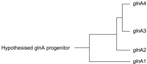 Phylogenetic analysis of the all the actinobacterial glnA protein sequences showed that the glnA3 and glnA4 protein sequences are closer related to the glnA2 protein sequence that to that of glnA1. (Distances not drawn to scale).
