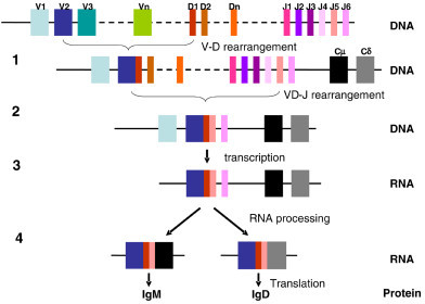 Antibody heavy-chain gene rearrangement, transcription, and translation. In step 1, any V segment (in this case, V2) rearranges to any D segment (in this case, D1). In step 2, the VD segment rearranges to one of the six J segments (in this case, J5). Primary RNA transcripts extend from the rearranged VDJ segments through to the Cδ gene (step 3). Finally, RNA processing results in the incorporation of either Cμ or Cδ by the transcripts, encoding for an IgM or IgD antibody, respectively.