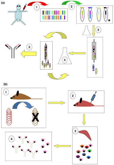 Developing a fully human monoclonal antibody (mAb) using (a) phage display technology and (b) transgenic mouse technology. (a) Step 1: A suitable source of starting material (for example, human blood) is subjected to polymerase chain reaction using appropriate primers, providing 'libraries' of heavy chain V domain (VH) and light chain V domain (VL) sequences. Step 2: Randomly combined VH and VL sequences, connected via a short linker, are incorporated into the genome of a bacteriophage such that they will be expressed at the phage surface. The combination marked with an asterisk encodes the desired specificity. Step 3: The phage library is used to infect a bacterial culture, and the resulting supernatant, containing single-chain Fv-expressing phage particles, is incubated with an appropriate source of target antigen (panning). This can be on a column, Petri dish, and so on. Phage with appropriate specificity adheres to the antigen source. Step 4: Adherent phage is eluted and enriched for the appropriate specificity by further rounds of panning. Step 5: After several rounds of panning, adherent phage is sequenced. A successful procedure should lead to the presence of just one or a few Fv specificities, which can be individually cloned and their specificity checked. At this stage, in vitro affinity maturation procedures can be performed if required (see 'Human antibodies' section for details). Ultimately, the desired specificity is recloned into an appropriate vector containing full-length mAb sequence for expression in a mammalian cell line. (b) Step 1: A transgenic mouse that produces human antibodies is created by targeted disruption of the endogenous murine immunoglobulin heavy- and light-chain genetic loci and their replacement by the equivalent human sequences. Step 2: The mouse, now containing human immunoglobulin genes, is immunised in a conventional manner using the target antigen. Step 3: Splenocytes from the immunised mouse are used to generate hybridomas via conventional fusion technology. Step 4: Resulting hybridomas are screened, leading to isolation and cloning of a hybridoma-secreting high-affinity mAb against the target antigen. Note: In theory, phage display rather than fusion technology can be applied from stage 3 onwards.