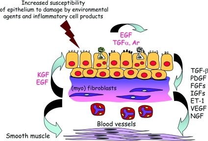 Chronic asthma is characterized by enhanced epithelial–mesenchymal communication with the release of a range of different growth factors linked to remodellingAr, amphiregulin; EGF, epidermal growth factor; ET-1, endothelin-1; FGF, fibroblast growth factor; IGF, insulin-like growth factor; KGF, keratinocyte growth factor; PDGF, platelet-derived growth factor; NGF, nerve growth factor; VEGF, vascular endothelial growth factor.