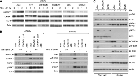 SON, DONSON and CD3EAP are required for the DNA damage response. (A) SON, DONSON and CD3EAP depletion leads to a decreased phosphorylation of CHEK1 on γ irradiation, similar to ATR; 48 h after siRNA transfection, cells were γ irradiated and collected 1 or 2 h later for immunoblot analysis, probing with indicated antibodies. (B) SON and DONSON depletion leads to attenuated phosphorylation of CHEK1 on UV exposure, similar to ATR depletion. U2OS cells were UVC irradiated (20 J/m2) 48 h after siRNA transfection. Cell lysates were collected for immunoblotting 2 h later and probed with indicated antibodies. (C) Knock down of DONSON and SON impairs RPA2 recruitment onto chromatin and the phosphorylation of ATR substrates. U2OS cells were transfected with siRNAs and UVC irradiated (20 J/m2). Subsequently, the chromatin-associated insoluble fraction was extracted 2 h after UV exposure, and the fractions were analysed for the indicated proteins by immunoblot.