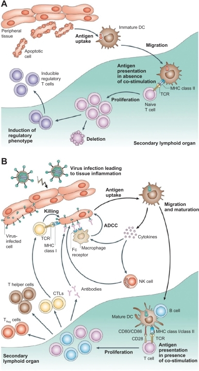 Different functions of immature and mature dendritic cells. A) In the absence of inflammation and costimulation, antigen presentation to immature dendritic cells induces tolerance or anergy (lack of an immune response). This results in deletion or induction of a regulatory phenotype of T cells. B) In the presence of inflammation, immature dendritic cells become activated into mature dendritic cells. Antigen presentation in the presence of costimulatory molecules causes clonal expansion of CD4+ (helper) and CD8+ (cytotoxic) T cells and activation of B cells to produce antibodies and NK cells. Copyright © 2005, Nature Publishing Group. Reproduced with permission from Banchereau J, Palucka AK. Dendritic cells as therapeutic vaccines against cancer. Nat Rev Immunol. 2005;5(4):296–306.